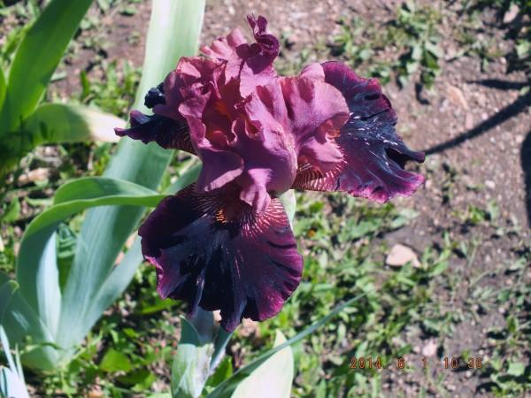 Long's Iris Gardens - Boulder