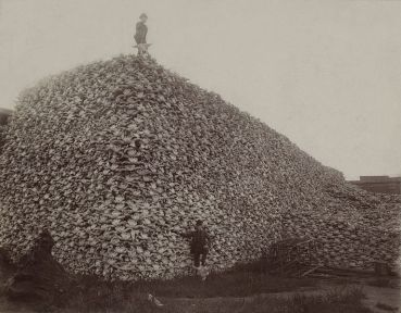 Bison skulls piled high - 1870s