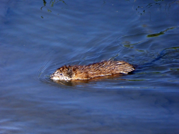 Clear Creek Muskrat