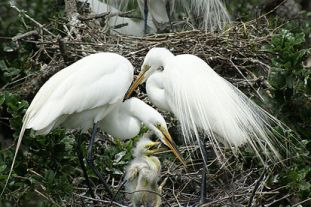 A great egret family; plume birds were often shot while sitting on their nests.