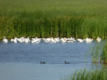 Convention of Storks, Cheyenne Bottoms Wildlife Area, June 8, 2016