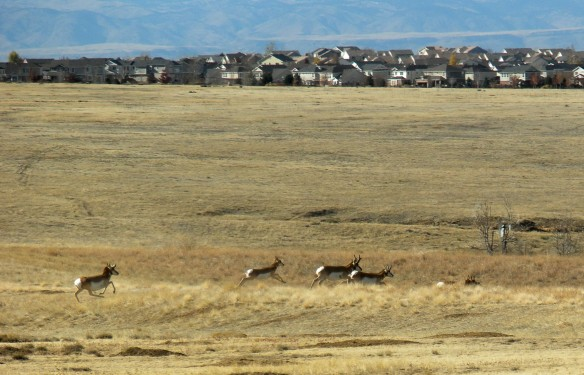 Pronghorn Antelope where the prairie met development in Aurora, Colorado, November 2011