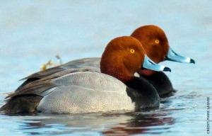 redhead-ducks-2
