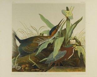 brooklyn_museum_-_green_heron_-_john_j-_audubon